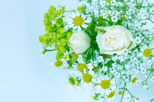 グリーン 緑 植物 自然 花 バラ ばら 薔薇 華やか 豪華 ゴージャス エレガント 可愛い かわいい 可憐 ローズ 白 白薔薇 白バラ カモミール ハーブ 観葉植物 ブーケ 花束 背景 壁紙 水色