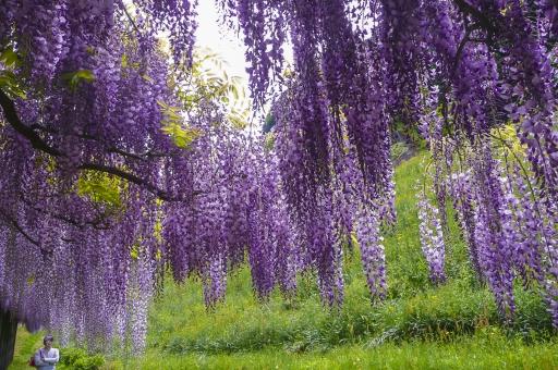 藤 花 植物 紫色 薄紫色 藤色 白 棚 垂れる 枝垂れ 自然 花びら 空 吊るす 枝 葉 雲 観光地 旅行 観光 見物 見頃 兵庫県 白井大町藤公園 緑 逆光