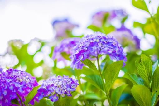 自然 植物 花 花びら 小花 花 花びら 紫陽花 あじさい アジサイ 密集 集まる 多い 沢山 球体 丸い 青色 紫色 ピンク色 桃色 葉 葉っぱ 緑 成長 育つ 開花 咲く 開く しぼむ 枯れる ぼやける ピンボケ 加工 無人 室外 屋外 風景 景色 ローアングル アップ 幻想的