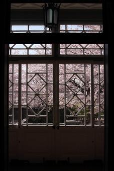 桜 さくら サクラ 春 満開 開花 花びら ピンク 桃色 ピンクの花 桃色の花 アップ おしべ めしべ 枝 植物 樹 樹木 木 屋外 綺麗 咲く 暖かい かわいい 明るい 建物 花見 シルエット 窓 ガラス
