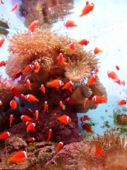 熱帯魚 赤 魚 小魚 サンゴ サンゴ礁 海 水 海中 水中 幻想的 背景 水族館 アクアリウム 壁紙 水色 青 カワイイ キレイ 遠足 デート 夏