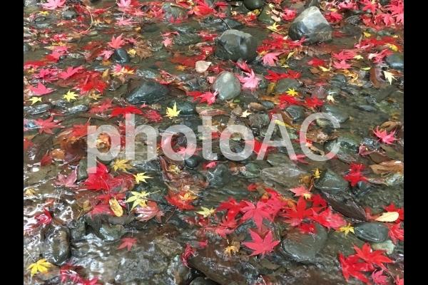 三渓園  秋  紅葉の写真