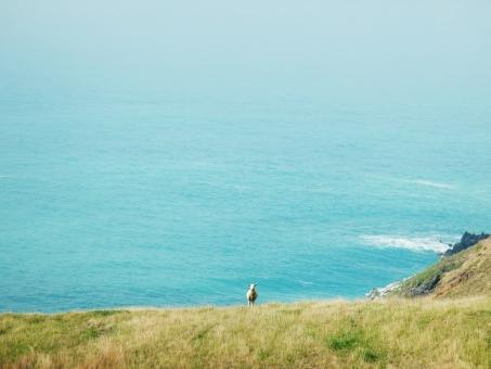 海を背に佇む羊の写真