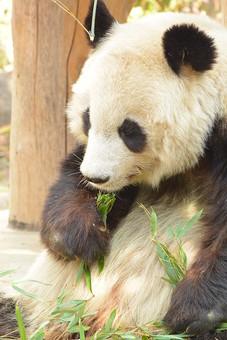 パンダ ぱんだ ジャイアントパンダ 動物 白 黒 動物園 飼育 哺乳綱ネコ目 食肉目 クマ科 ジャイアントパンダ属 中国 雑食性 熊猫 大熊猫 母乳類 笹 生き物 屋外 外 可愛い 毛 毛並み 温厚