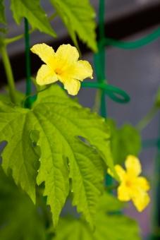 ゴーヤ ごーや ツルレイシ つるれいし 蔓茘枝 ニガウリ にがうり 苦瓜 黄色 夏 ウリ科 グリーンカーテン