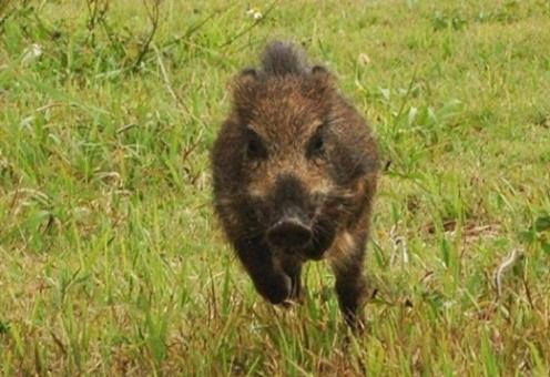 猪突猛進 命がけ奇跡の一枚 猪 改心の一撃の写真