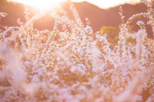 自然 植物 花 花びら 小花 白い 密集 集まる 多い 沢山 群生 可愛い 爽やか 綺麗 美しい 華やか 重なる 成長 育つ 伸びる 満開 咲く 開花 開く 光 夕日 陽射し 眩しい 太陽 無人 加工 室外 屋外 風景 景色 幻想的 ユキヤナギ 雪柳