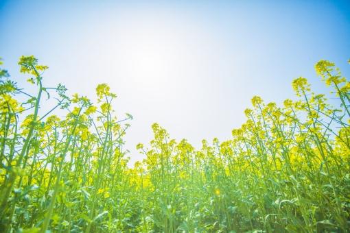 自然 植物 花 花びら 草 野生 野草 野花 草原 原っぱ 緑 黄色 葉 葉っぱ 満開 群生 開く 咲く 多い 沢山 集まる 密集 成長 育つ 伸びる 空 グラデーション 青空 天気 晴天 晴れ 太陽 陽射し 太陽光 光 眩しい 加工 無人 風景 景色 室外 屋外 アップ ローアングル 幻想的 春 黄色