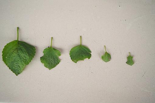 葉 葉っぱ 緑 みどり 植物 並べる 整列 成長 虫食い かじる 齧る 跡 茎 葉脈 壁 比べる 育つ 観察 研究 白バック 白背景 しそ 紫蘇 シソ 紫蘇の葉