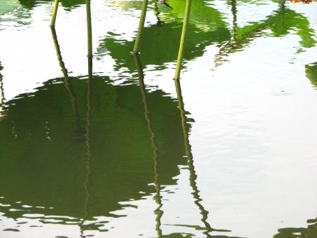 池 池に映る蓮 蓮の葉 水面 蓮 茎 ハス はす レンコン れんこん 蓮根 法事 お墓参り お盆 お彼岸 7月 8月 夏の花 日本的 仏教 仏 初夏 幻想的 華やか 厳か 真夏 蓮池 和風 安らぎ やすらぎ 緑 暑中見舞い 日本の夏 イメージ 背景 壁紙 沼 自然 植物 ゆらゆら 波 ユラユラ キラキラ きらきら 水紋