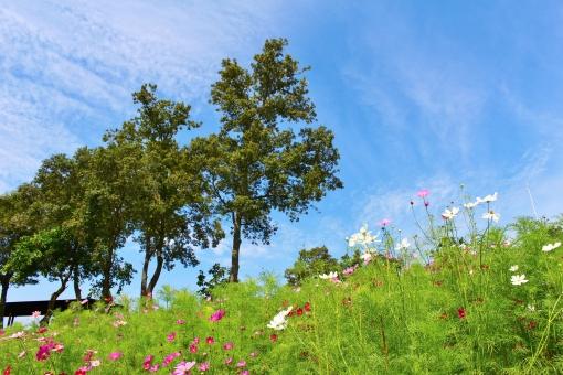 コスモス コスモス畑 花 植物 秋桜 秋 初秋 九月 9月 pink ピンク ピンク色 ピンクのコスモス ピンク色のコスモス 濃いピンク 淡いピンク 桃色 鮮やか 艶やか 木 樹木 tree collar カラー 自然 風景 景色 景観 壁紙 背景 テクスチャ 素材 明るい 朗らか カワイイ 可愛い かわいい 綺麗 キレイ きれい 素敵 ステキ 可憐 密集 群生 花言葉 たくさん いっぱい 秋の色 autumn 愛らしい 花びら 花粉 彩り 優しい フンワリ ふんわり 陽射し 日差し green 緑 緑色 公園 蜜 晴れ 快晴 晴天 青空 青い空 青色 水色 空色 雲 白い雲 秋の雲