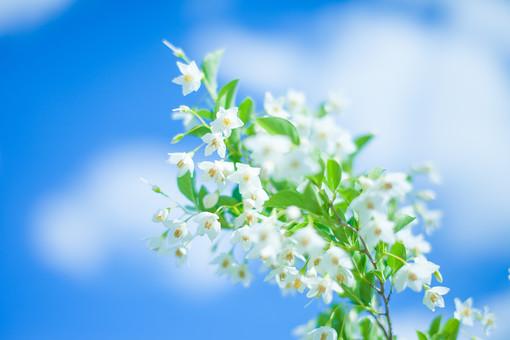 自然 植物 花 花びら 花粉 おしべ めしべ 小花 集まる 沢山 多い 密集 葉 葉っぱ 緑 白い 咲く 満開 開花 開く 成長 育つ 空 雲 青い 青空 天気 晴天 晴れ コントラスト 鮮やか アップ 加工 無人 室外 屋外 風景 景色 幻想的