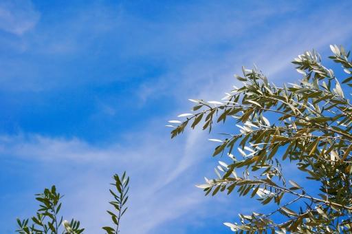 青空 空 木 オリーブの木 オリーブ 葉 オリーブ畑 白い雲 雲 風 風景 自然 オリーブオイル そよ風 食べ物 植物 背景 樹木 すじ雲 枝 さわやか コピースペース 白 緑 オリーブ園 景色 青 水色 スカイブルー 庭木 庭 夏 夏空 壁紙 壁紙デザイン 屋外 イタリアン 壁紙素材 背景デザイン 背景素材 olive コメントスペース テキストスペース エコロジー エクステリア そら 風に揺れる木