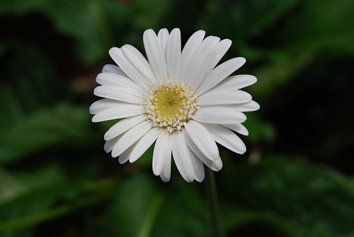 自然 風景 環境 植物 花 草花 観葉 手入れ 栽培 世話 水やり 植える 育てる ベランダ 庭 林 公園 花壇 癒し 咲く 開花 成長 土 観察 アップ たくさん きれい 美しい ガーベラ
