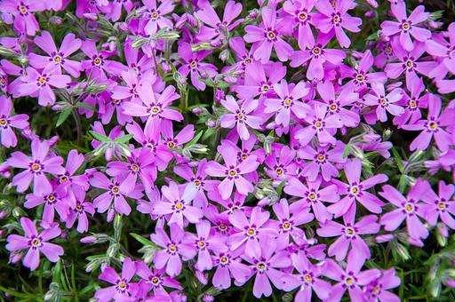 フロックス 花 お花 フラワー 背景 植物 きれい 咲く 晴れ 満開 風景 自然 明るい  屋外 花びら 園芸 ガーデニング 葉 葉っぱ アップ 接写 綺麗 めしべ おしべ 紫 小さい 小さい花 細かい