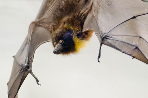 風景 自然 環境 旅行 旅 スナップ 広い 観光 散歩 リラックス 癒し 天気 動物 生き物 動物園 公園 コウモリ 哺乳類 ペット 飛ぶ 羽 有名 洞窟 超音波