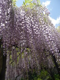 藤 花 植物 紫色 薄紫色 藤色 白 棚 垂れる 枝垂れ 自然 花びら 空 吊るす 枝 葉 雲 観光地 旅行 観光 見物 見頃 兵庫県 白井大町藤公園 風景 景色