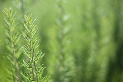 ローズマリー ハーブ 料理 材料 スパイス 食べ物 食材 野菜 植物 葉 調味料 フレッシュ 新鮮 食事 香辛料 素材 食品 緑色 香り 洋食