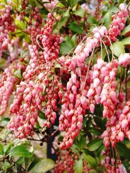 馬酔木 アセビ あせび 低木 ピンク 緑 小さい花 冬 春 背景 花 植物
