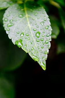 雨 濡れる 濡れた 雫 しずく 水滴 水分 水 露 雨天 クローズアップ 自然 風景 植物 悪天候 屋外 野外 ウェット 自然背景 雨粒 レイン 透明 丸い 粒 葉 草 葉っぱ 葉脈 緑