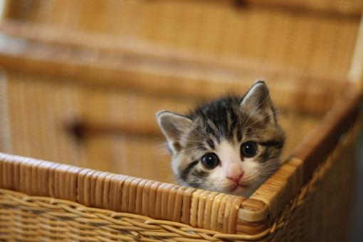 バスケットの子猫の写真