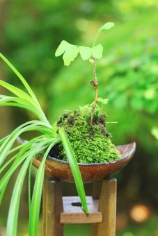 苔玉 コケ こけ 苔 丸 丸い 盆栽 イチョウ 銀杏 和風 和 モダン 和モダン 緑 植物 侘び草 わび草 ワビ草 園芸 インテリア おしゃれ テラリウム 縦 たて