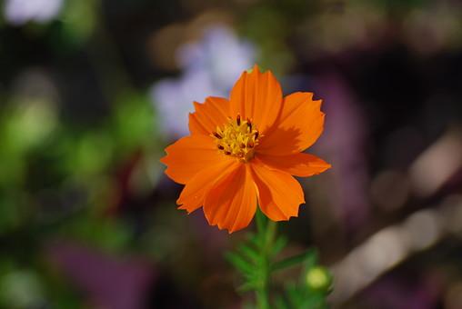 自然 風景 環境 植物 花 草花 観葉 手入れ 栽培 世話 水やり 植える 育てる ベランダ 庭 林 公園 花壇 癒し 咲く 開花 成長 土 観察 アップ たくさん きれい 美しい かわいい コスモス オレンジ