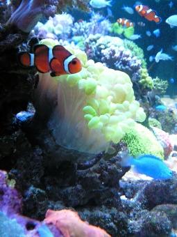 魚 小魚 熱帯魚 カクレクマノミ ニモ サンゴ礁 サンゴ 水 水中 海 海中 オレンジ 青 白い 水族館 アクアリウム 飾り 装飾 電飾 イルミネーション ライトアップ 遠足 デート