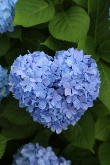 アジサイ あじさい 紫陽花 6月 梅雨 雨 曇り 花 滋賀 守山 芦刈園 ハート heart HEART 青 緑