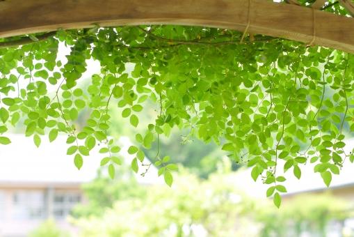 バラ 薔薇 ばら ローズ ガーデン ガーデニング フレーム 枠 花 グリーンカーテン 五月 六月 みどり 葉 壁紙 素材 コピースペース テキストスペース 爽やか さわやか 5月 6月 清々しい 公園 涼しい 涼しげ 涼感 清涼感 葉っぱ 自然 植物 グリーン エコ 環境 輝き 木漏れ日 庭 ソフト 木の葉 はっぱ 小枝 エコロジー eco いやし リラックス リラクゼーション やすらぎ 安らぎ  背景 テクスチャ テクスチャー きらめき 新緑 キラキラ バックイメージ 青葉 若葉 春 緑 夏 初夏 光 明るい イメージ 5月 背景素材 木 爽快 風景 景色 ミドリ 屋外 戸外 黄緑 風 そよ風 マイナスイオン 8月 6月 7月 7月 やさしい 優しい 癒し 4月 四月 りラックス バック バックグラウンド 背景画像 背景写真 4月 清潔 清涼