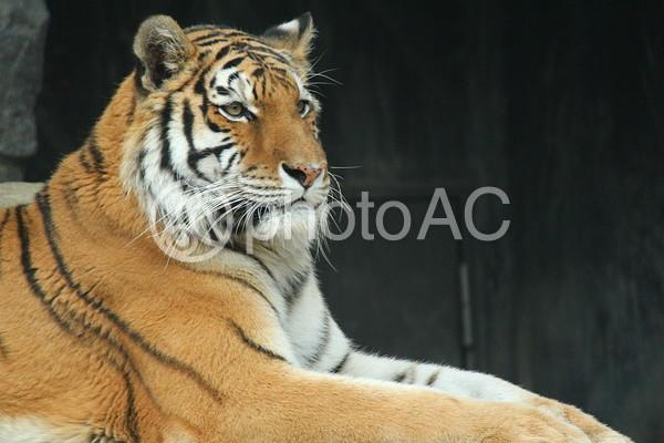 虎の顔3の写真