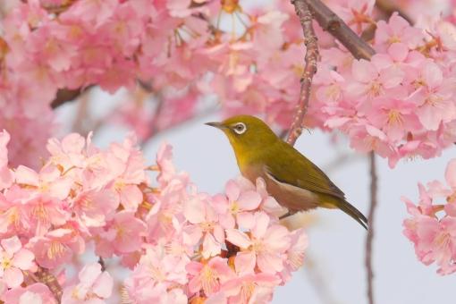 メジロ 目白 鳥 河津桜 カワズザクラ かわずざくら 満開 入学式 卒業式 淡い 薄桃色 小鳥 新生活 風景 景色 ウグイス色 うぐいす色 テクスチャ テクスチャー 樹木 木 植物 優しい やさしい ソフト 柔かい やわらかい 美容 四月 光 4月 白 花弁 花びら 爽やか さわやか 青 空 青空 水色 自然 美しい さくら サクラ ピンク 花 春 綺麗 可愛い かわいい 背景画像 桜 カード ハガキ バックグラウンド 余白 スペース バック バック素材 素材 背景素材 日本 壁紙 明るい アップ 背景 和風 和 年賀状素材 元旦 年賀ハガキ イメージ 1月 新春 新年 お正月 正月 年賀状 年賀 元旦素材 初春 迎春