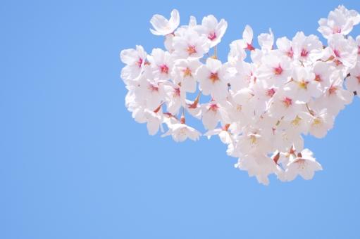 「櫻 フリー」の画像検索結果