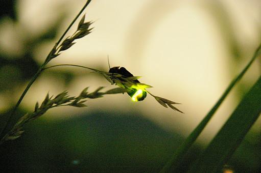 蛍 ホタル ほたる 葉 昆虫 無視 夏 初夏 葉っぱ 田舎 6月 光 発光