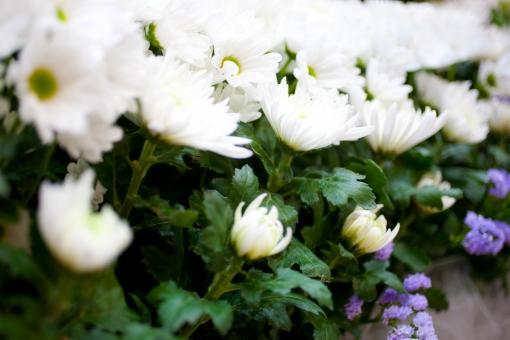 葬儀 葬儀場 葬式 白菊 菊 白 告別式 通夜 葬儀のイメージ 植物 花 コピースペース バックグラウンド 葬儀イメージ 死 悲しみ 祭壇 紫の花 紫 蕾 つぼみ 咲く 終活 思い 寂しさ