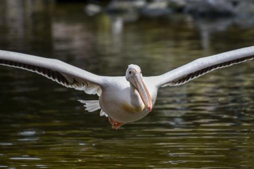 滑空するモモイロペリカンの写真
