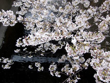 自然 風景 環境 植物 花 草花 観葉 手入れ 栽培 世話 水やり 植える 育てる ベランダ 庭 林 公園 花壇 癒し 咲く 開花 成長 土 観察 アップ たくさん きれい 美しい かわいい 桜 日本 花見 春 人気