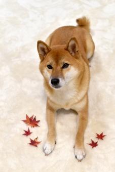 柴犬・もみじの写真