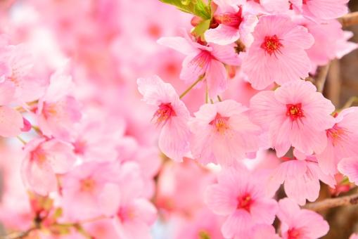 さくら 桜 陽光桜の写真