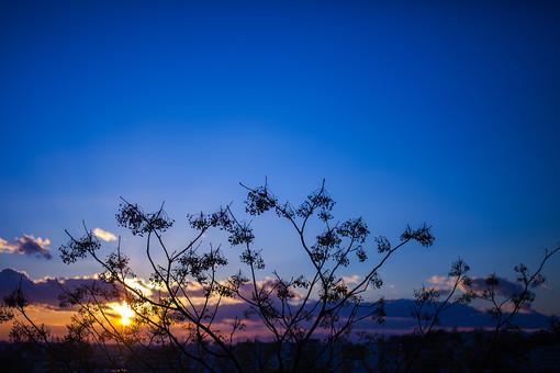 自然 植物 木 樹木 シルエット 逆光 成長 育つ 伸びる 葉 葉っぱ 枝 幹 高い 空 雲 太陽 太陽光 光 陽射し 眩しい 朝焼け 朝日 朝陽 グラデーション 青 オレンジ色 橙色 無人 室外 屋外 風景 景色