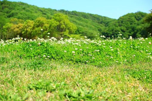 シロツメクサ 白詰草 多年草 クローバー 白い花 花畑 自然 風景 景色 森林 緑 林 かわいい 小さい 春 夏 季節 葉っぱ 植物 美しい きれい 野草 草花 癒し 一面 群生