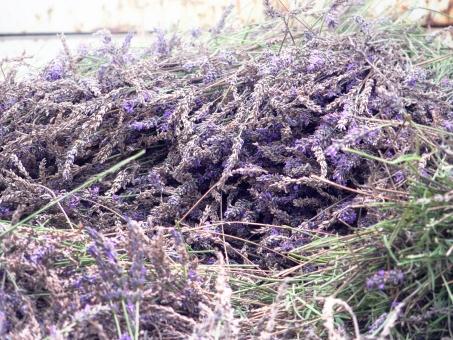 ラベンダー 収穫 花 草花 アロマ 風景 屋外 夏 7月 夏の花 紫の花 自然
