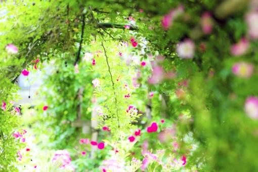 庭 ガーデニング 薔薇 花 植物 自然 癒し ツルバラ 蔓薔薇 バラ 可憐 イメージ 光 穏やか ばら トンネル アーチ 緑 グリーン 背景