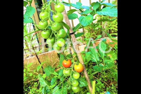 トマト2の写真
