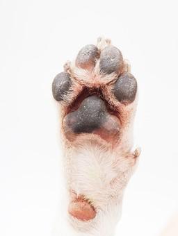 ポーズ 動物 生物 生き物 哺乳類 ほ乳類 犬 いぬ イヌ ドッグ ジャックラッセルテリア 小型犬 仔犬 子犬 手 前足 足 脚 右 肉球 前脚 かわいい 可愛い 白背景 白バック グレーバック 十二支 干支 戌