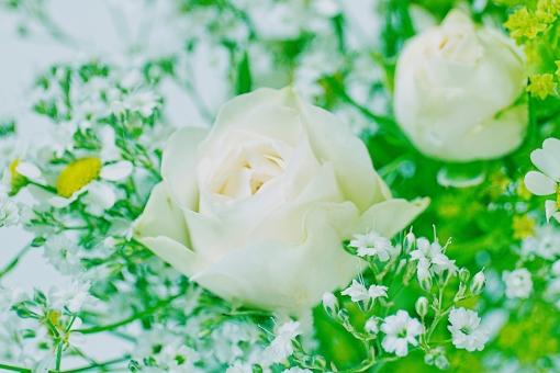 グリーン 緑 植物 自然 花 バラ ばら 薔薇 華やか 豪華 ゴージャス エレガント 可愛い かわいい 可憐 ローズ 白 白薔薇 白バラ カモミール ハーブ 観葉植物 ブーケ 花束 背景 壁紙