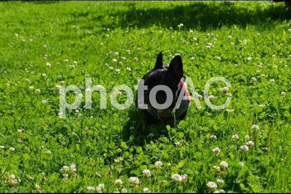 緑色の草とフレンチブルドッグの写真