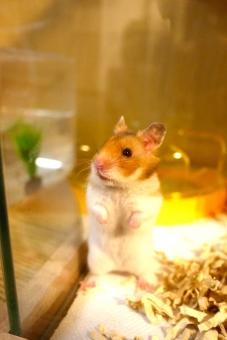ハムスター 動物 小動物 ペット ゴールデンハムスター ゴルハム ハム はむはむ かわいい 可愛い ふわふわ 哺乳類 小さい 水槽 立っち たっち 立つ 毛 アレルギー