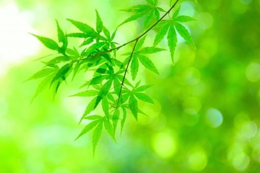 椛 モミジ もみじ 和柄 和風 和 みどり 6月 五月 六月 日本 新緑 葉 木漏れ日 若葉 青葉 壁紙 素材 コピースペース テキストスペース キラキラ 爽やか さわやか 明るい イメージ 庭 光 5月 6月 清々しい 公園 涼しい 涼しげ 涼感 清涼感 ソフト 葉っぱ 木の葉 はっぱ 小枝 自然 風景 木 樹木 植物 グリーン エコ エコロジー 環境 eco 森林浴 いやし リラックス リラクゼーション やすらぎ 安らぎ マイナスイオン 健康 美容 背景 背景素材 テクスチャ テクスチャー 5月 夏 緑 春 初夏 癒し きらめき キラメキ 優しさ やさしい 優しい 揺らぎ 風 空気 そよ風 バックイメージ バックグラウンド バック