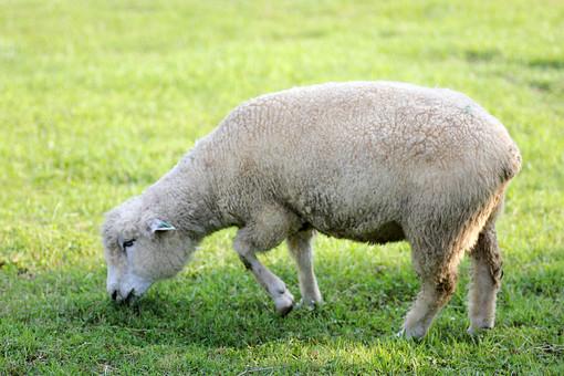 ひつじ ヒツジ 羊 生き物 牧場 動物 アニマル 干支 未年 1頭 家畜 酪農 農場 牧場 牧草 草 食べる 横向き 緑 グリーン 地面 自然 屋外 外 野外 かわいい 子羊